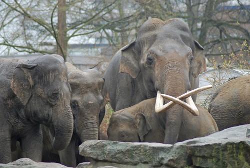 Asiatische Elefanten im Dierenpark Emmen im März 2008