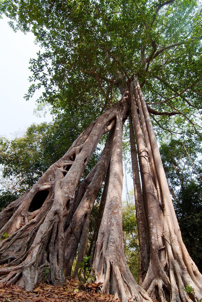Ficus benghalensis, Sambo Preikuk