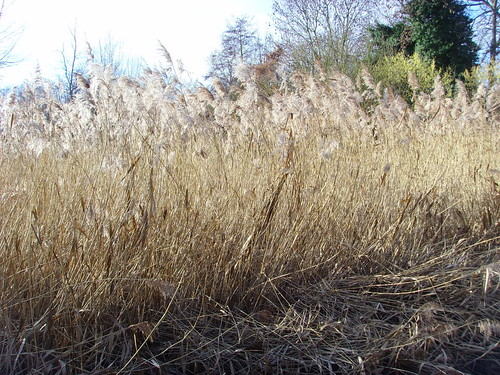 reeds at Crane Park Nature Reserve