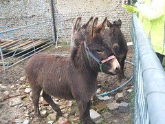 donkeys at Sompting 005