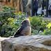 Gorilla Ueno Zoo 恩賜上野動物園, Tokyo Japan 東京 日本