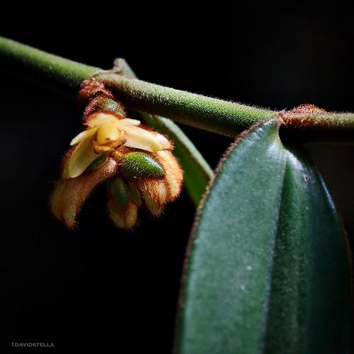 trichotosia velutina {the velvety trichotosia}