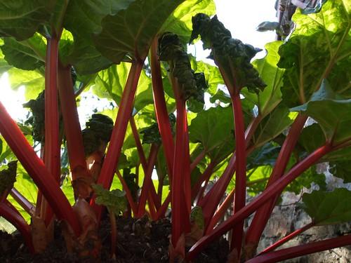 Rhubarb Crown
