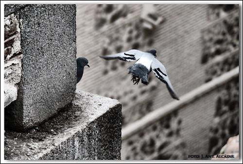 El vuelo de la paloma by dedaimiel