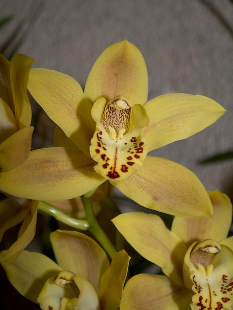 Cymbidium Double Eagle 'Isabelle'