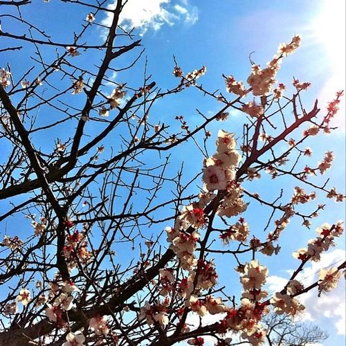 さくら咲いてきたね! あと半日、がんばろ~! #sakura