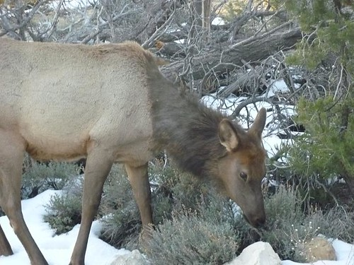 Grand Canyon 213 - Elk Herd 10