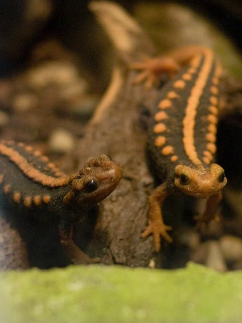 Crocodile Newts