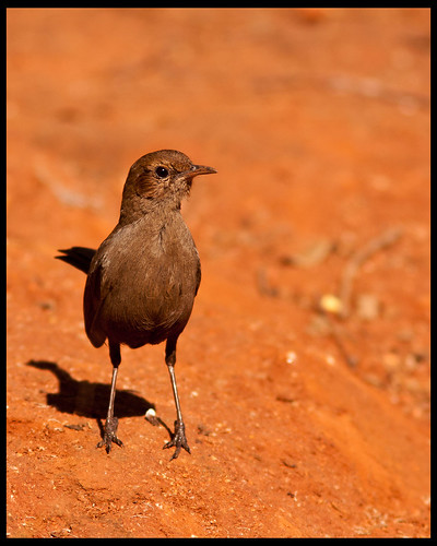Indian Robin- Female