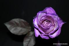 Para Tí... una rosa violeta Ele...
