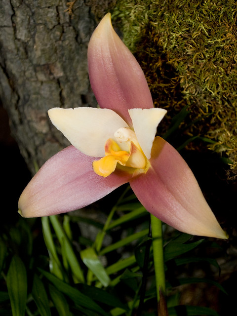 Lycaste Andy Easton 'Connie's Angel' AM_AOS