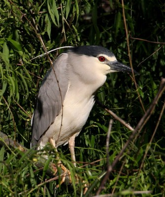 2011_03_31 AL - Black-Crowned Night-Heron (Nycticorax nycticorax) 01 by Mike at Sea