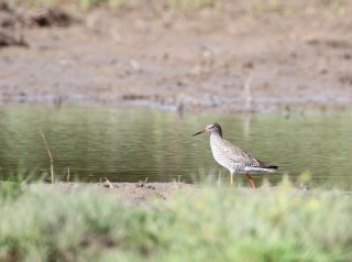 2011_05_04 PO - Common Redshank (Tringa totanus) 02 by Mike at Sea