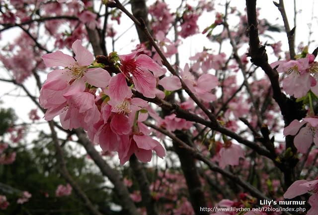 美麗的櫻花,不過我想再過幾天花期就過了,因為櫻花已經有點垂頭喪氣了呢。用N8能拍成這樣還不賴。