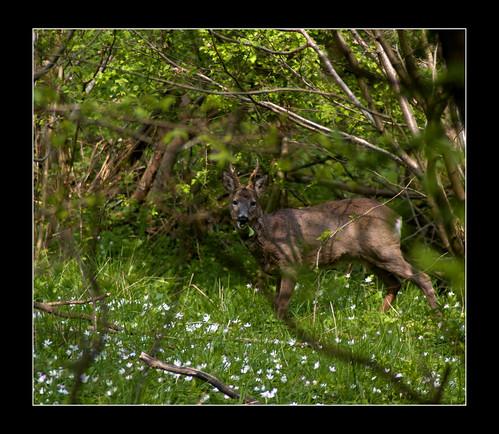 Roe Deer by _pauls