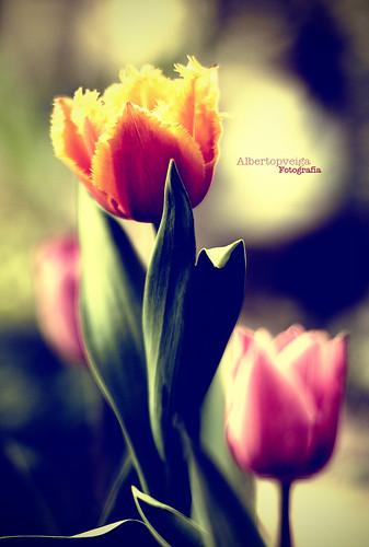 (101/365) Tulipanes by albertopveiga