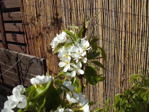 April.11 pear flowers
