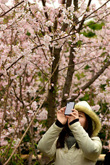 Cherry Blossoms: take the photo