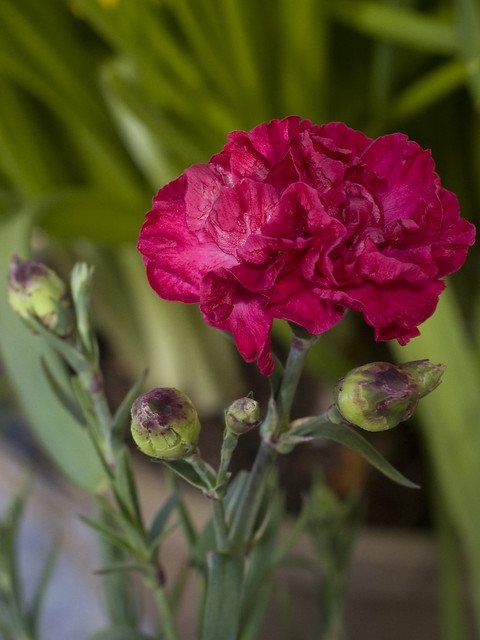 Dianthus Scent First™ 'Passion'