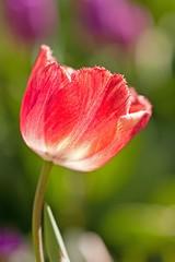 Tulip [Explore]