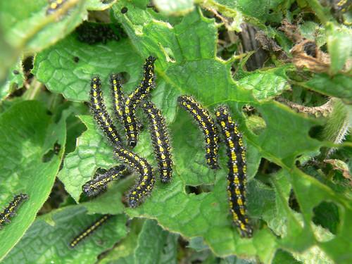 Scarlet Tiger Moth (Callimorpha dominula) caterpillars