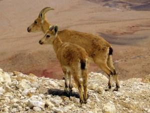 Ibex glance over the edge of Makhtesh Ramon.