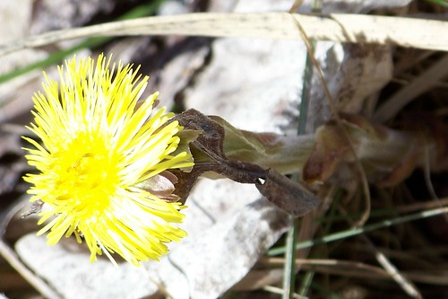 coltsfoot3