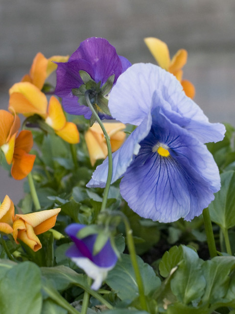 Viola cvv.