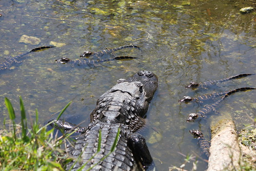 Mama alligator and her little babies 7