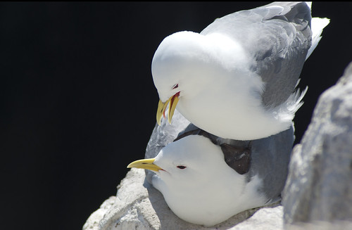 Kittiwakes getting frisky by _pauls
