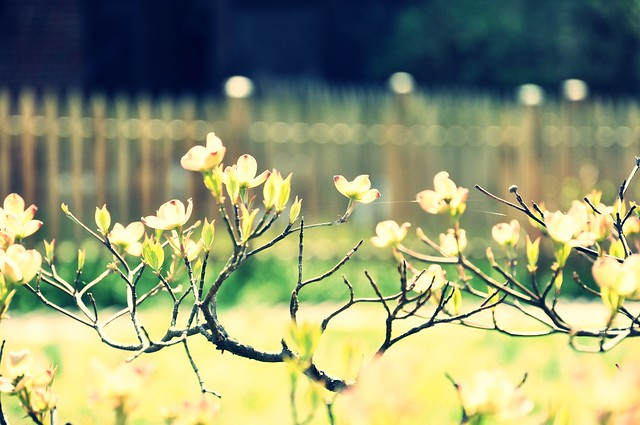 Dogwood fence   {explore}