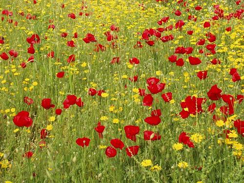 201105010131_poppies