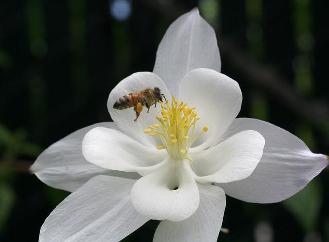 Aquilegia 'Krystal' and honeybee