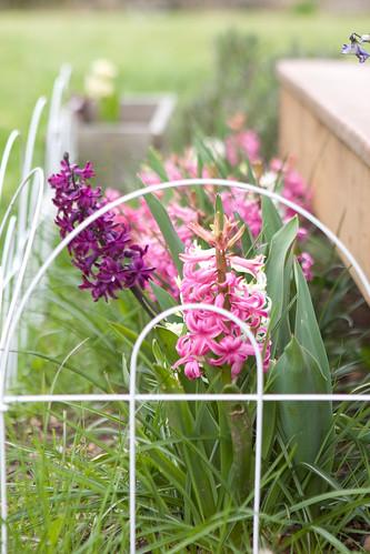 Hyacinth-4