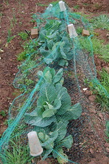 110414_cabbage_01