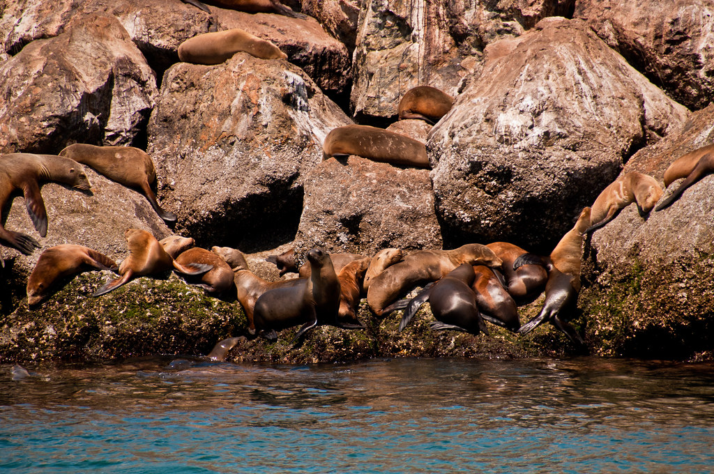 Sea lions on Monterey breakwater
