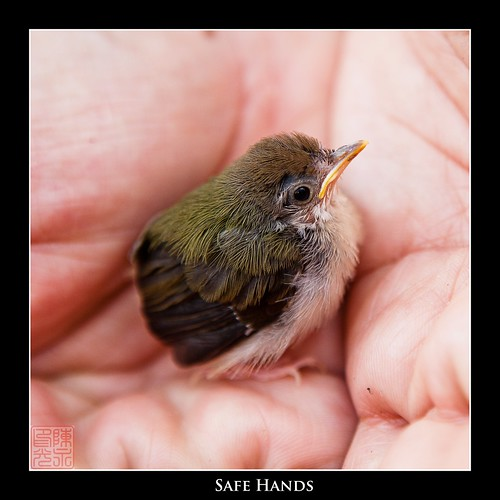 Baby sunbird rescued from the bush by Grandpa by Dad Bear