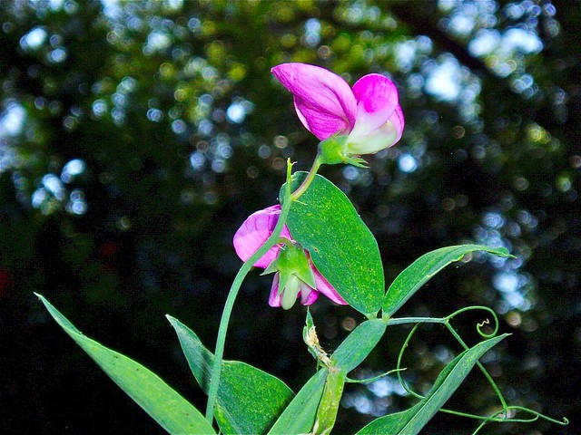 open lotus garden june sweet pea