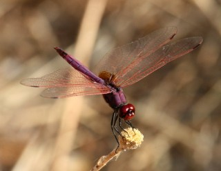 2011_07_04 PIC - Violet Dropwing - male (Trithemis annulata) 02 by Mike at Sea