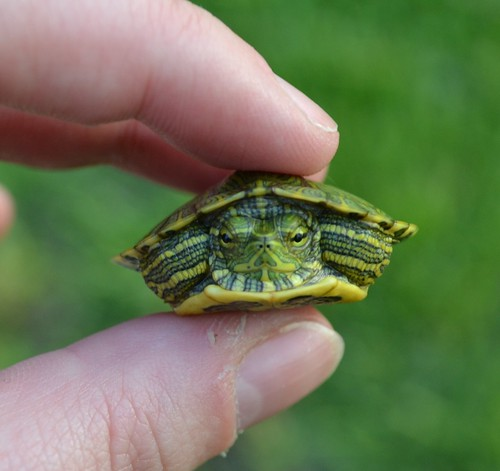 a tiny crabby turtle