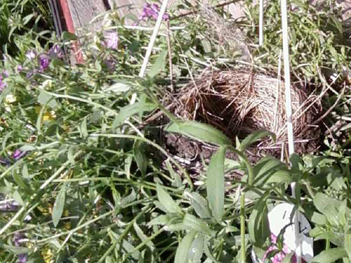 Robin's Nest in the Flower Pot by Karyn Ellis