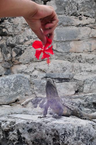 Iguana in Tulum Ruins