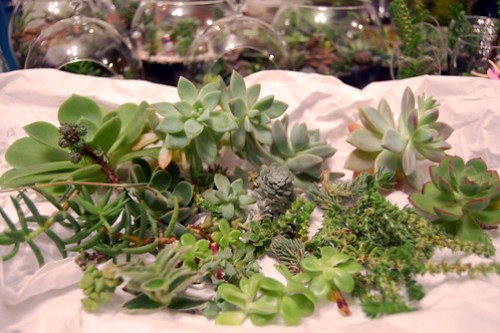 Succulent Cuttings for the Giveaway.