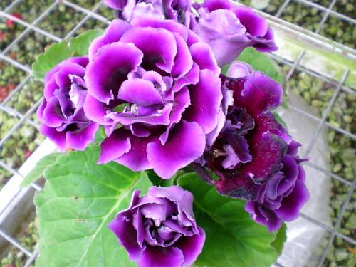 Cameron flora 1