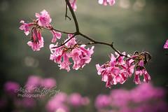 Tabebuia Flowers | Bangalore