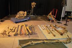 Quetzalcoatlus 1.14.11 (Houston Museum of Natural Science) Tags: museum houston science exhibition sciencemuseum pterosaur hmns quetzalcoatlus houstonsciencemuseum assemblingapterosaur