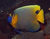 Yellowmask angelfish - Pomacanthus xanthometopon by divemecressi