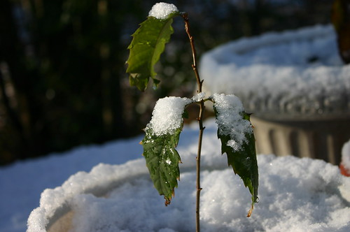 American Chestnut - Aww, Chestnuts' First Snow 3