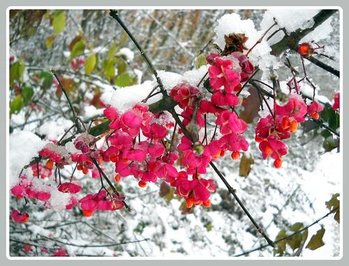neve fiorita
