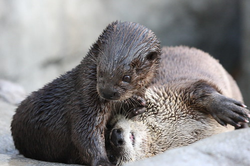 two damp river otters playing